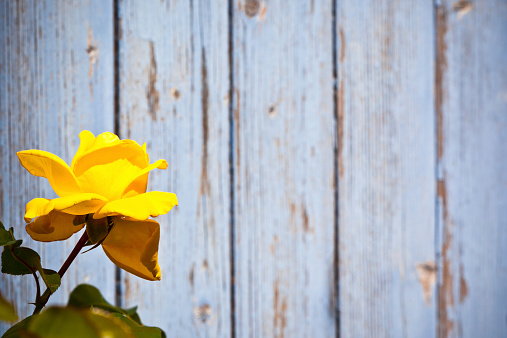 Beautiful yellow rose against blue wooden planks background