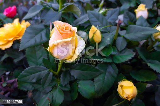 Beautiful yellow rose close up. Hybrid tea rose flower. Rose flower for gift. Decorative hybrid rose home plant