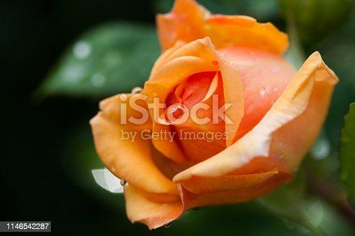 Beautiful yellow rose flower bloom in the garden