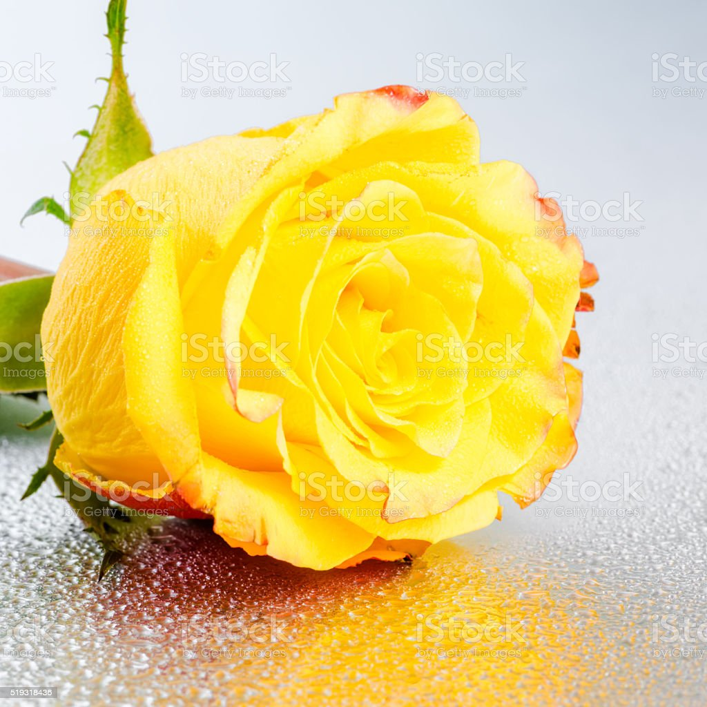 Beautiful Yellow Rose Flower On Silver Background With Dew Stock