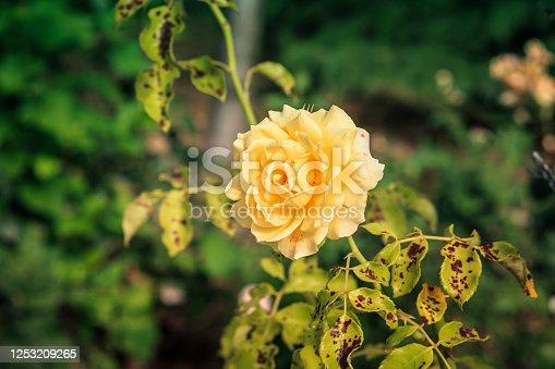 istock beautiful yellow rose in rose bush affected by Diplocarpon rosea or Black spot disease 1253209265