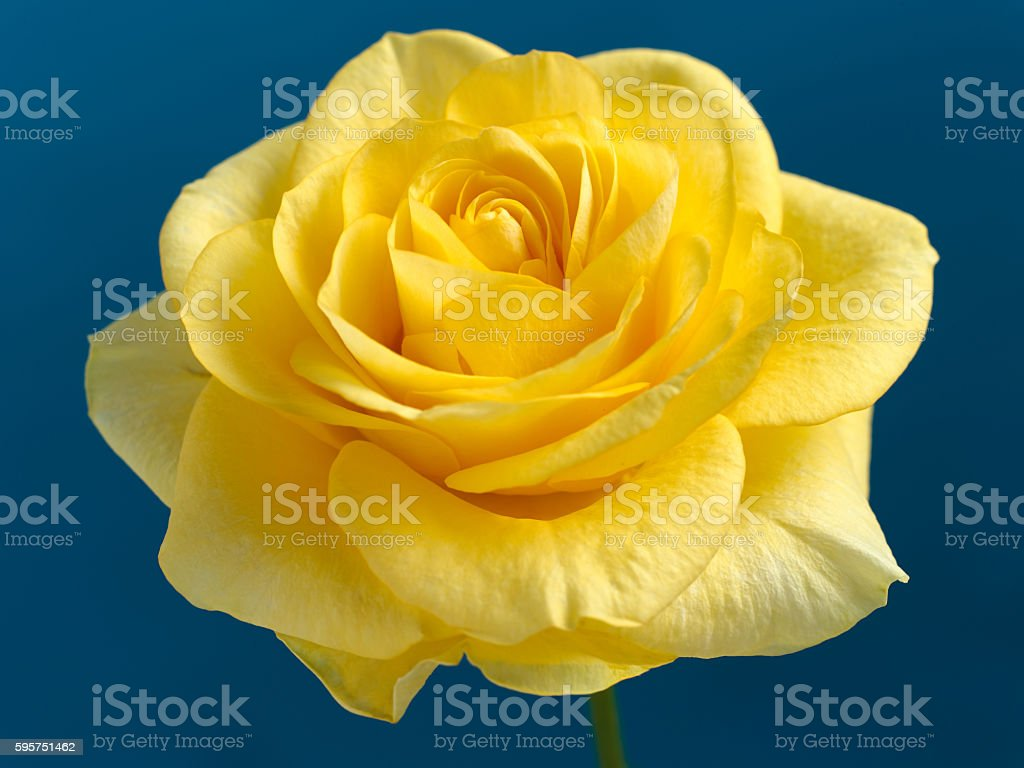 Beautiful yellow rose on a dark blue background. stock photo