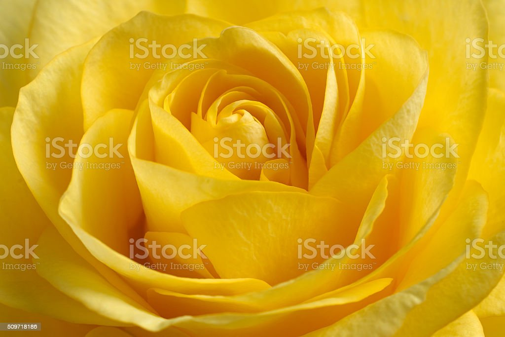beautiful yellow rose. stock photo