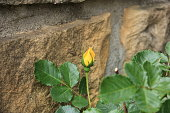 istock Beautiful yellow roses in garden, roses for Valentine Day. 1075060410