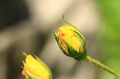 istock Beautiful yellow roses in garden, roses for Valentine Day. 1075060532
