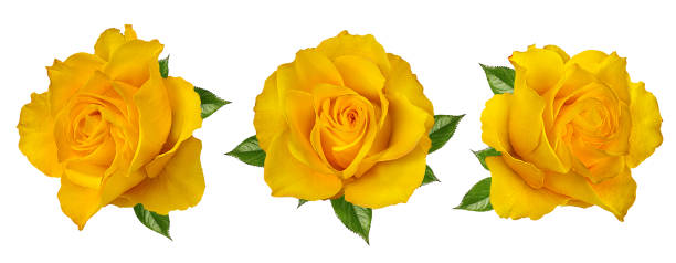 Beautiful yellow roses isolated on white background with clipping picture id1085702702?b=1&k=6&m=1085702702&s=612x612&w=0&h=wtxi9km8jznnaqvtzmb5ydfyp8dhtkwgdkezhsrozlw=