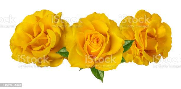 Beautiful yellow roses isolated on white background with clipping picture id1192829009?b=1&k=6&m=1192829009&s=612x612&h=enbbjqzaaqtyli2zajyazqhqtqltr1kr4a yn6f1szo=