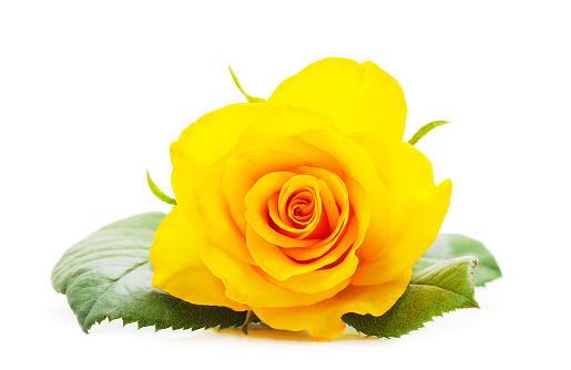 Beautiful yellow roses.
