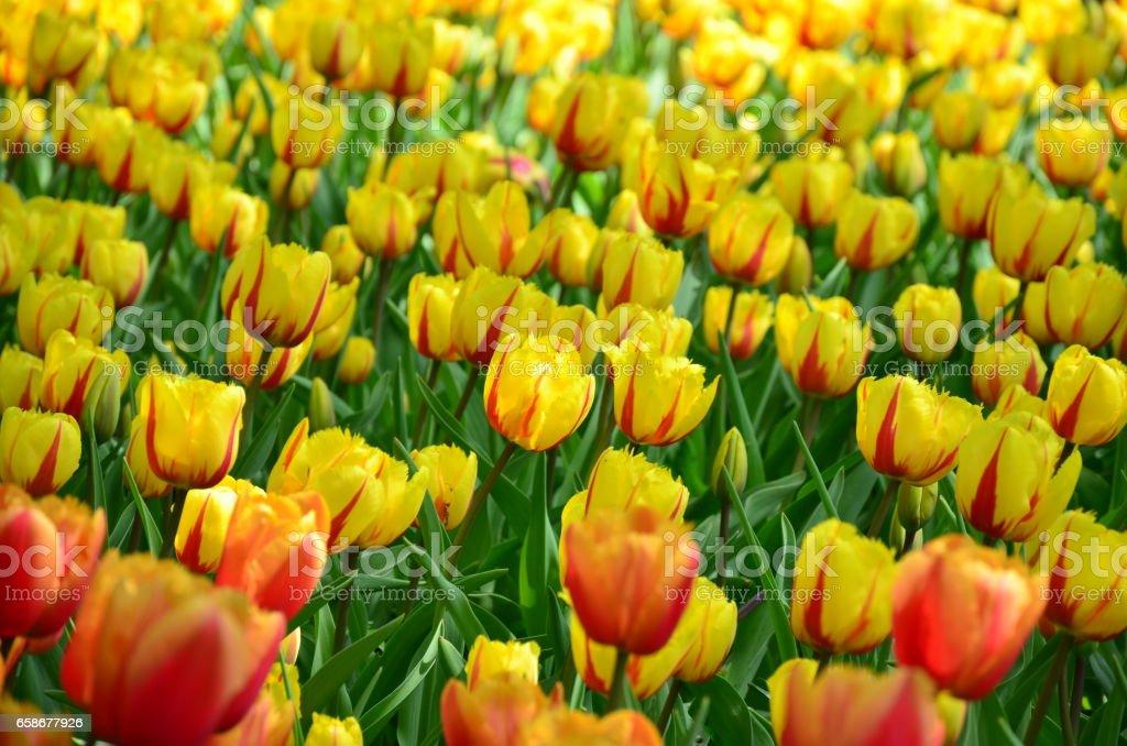 Beautiful yellow spring tulip flowers stock photo