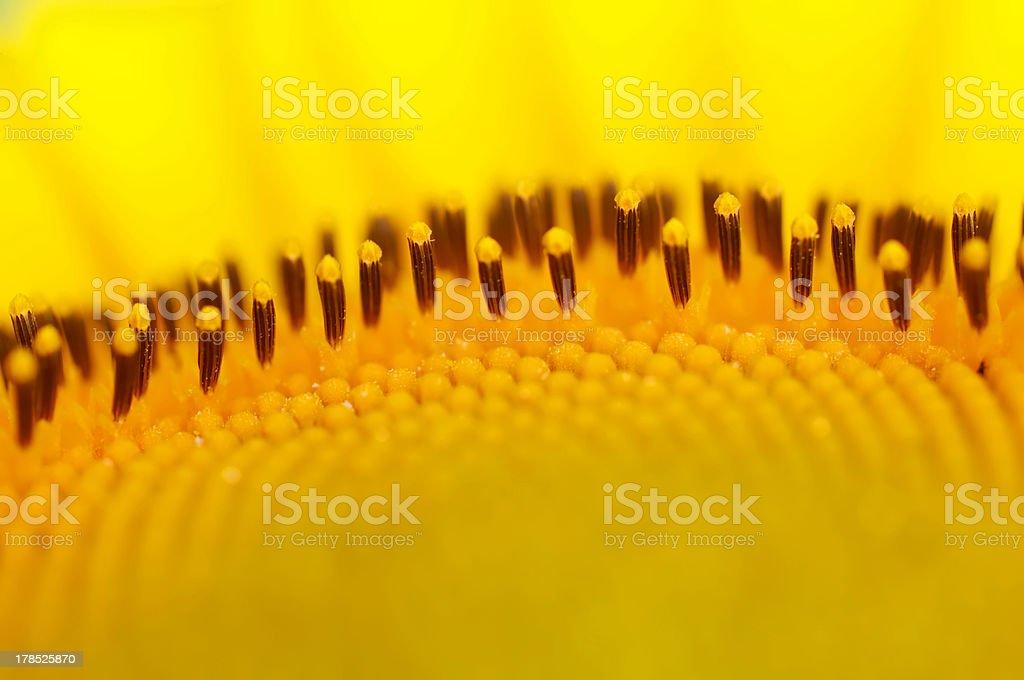 Wunderschöne. Gelben Zone. Sonnenblume. Nahaufnahme. Makro. Hintergrund. – Foto