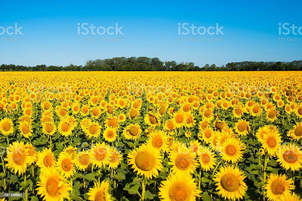 Beautiful yellow sunflower field stock photo