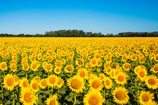 beautiful yellow sunflower field - sunflower stok fotoğraflar ve resimler
