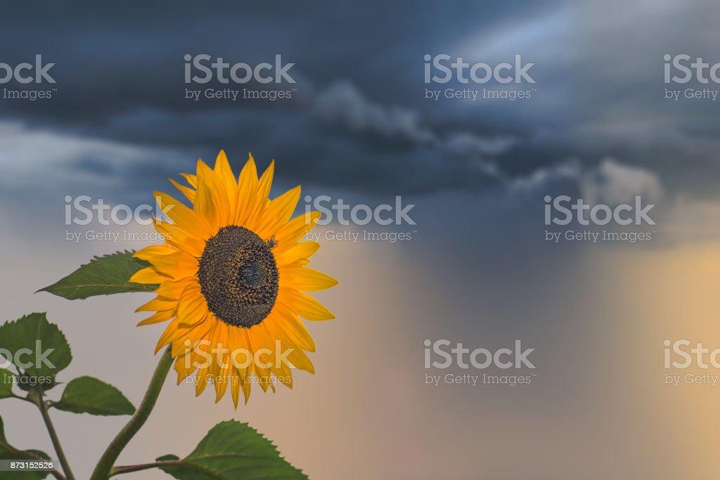 Beautiful yellow sunflower on a stormy day stock photo