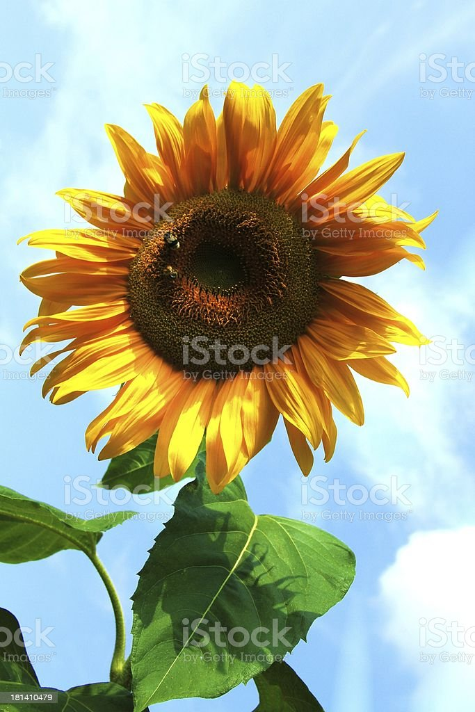beautiful yellow sunflower stock photo
