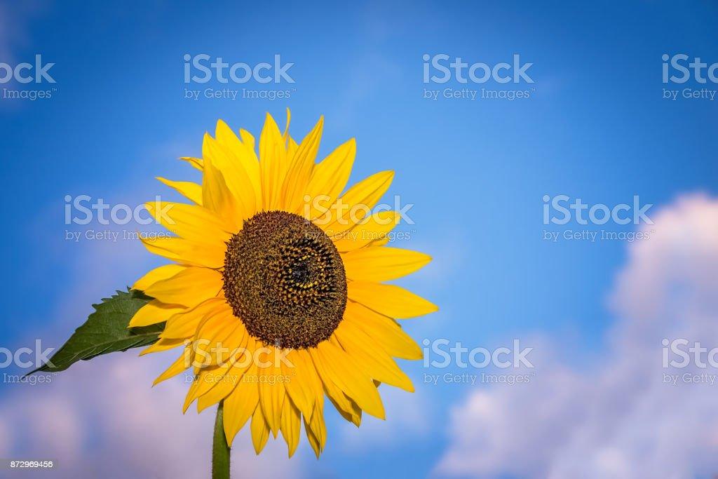 Beautiful yellow sunflower stock photo