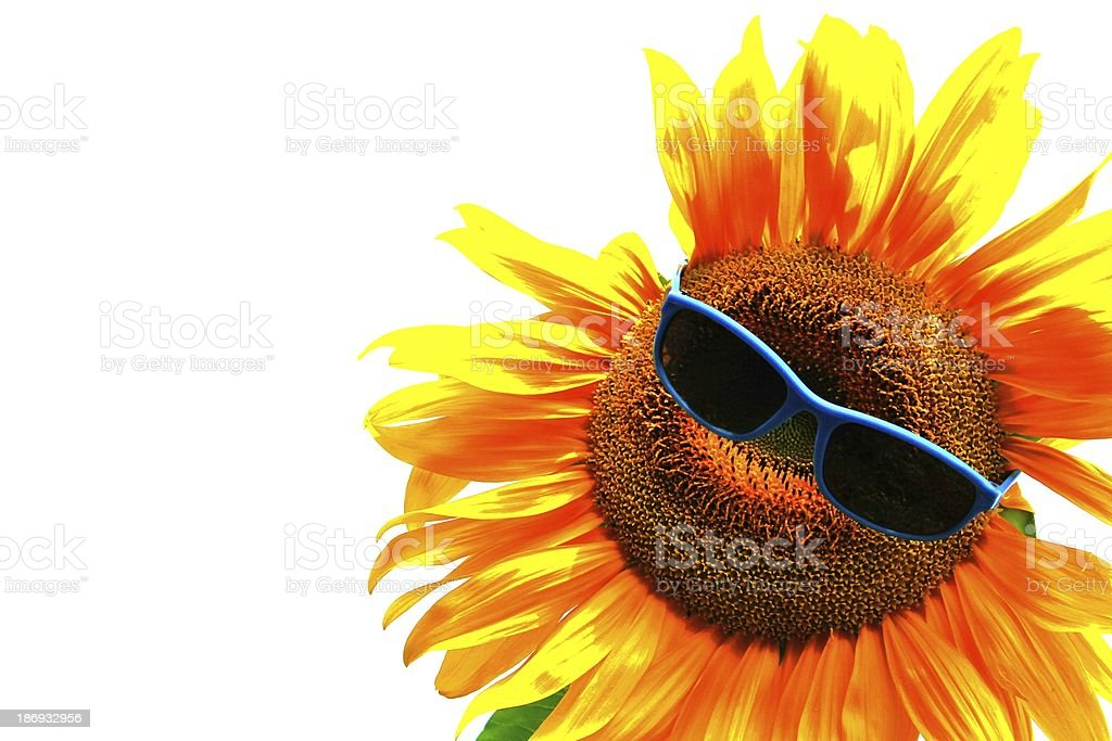 beautiful yellow sunflower with sunglasses stock photo