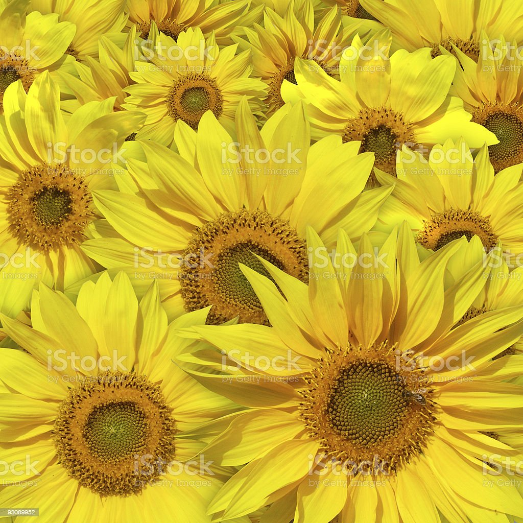 beautiful yellow sunflowers background royalty-free stock photo