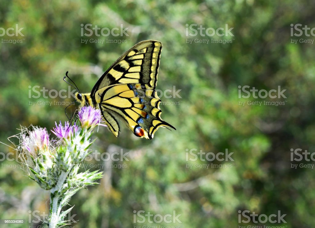 Beautiful yellow swallowtail butterfly standing at purple wild flower in the field royalty-free stock photo