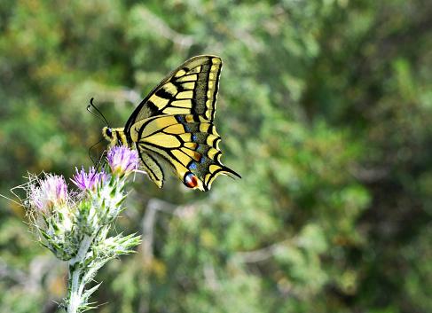 아름 다운 노란 호랑나비과 서 필드에 보라색 야생화 0명에 대한 스톡 사진 및 기타 이미지