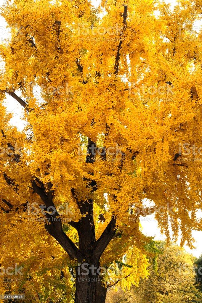 Beautiful Yellow Tree Ginkgo Biloba In Autumn Season In A Park In
