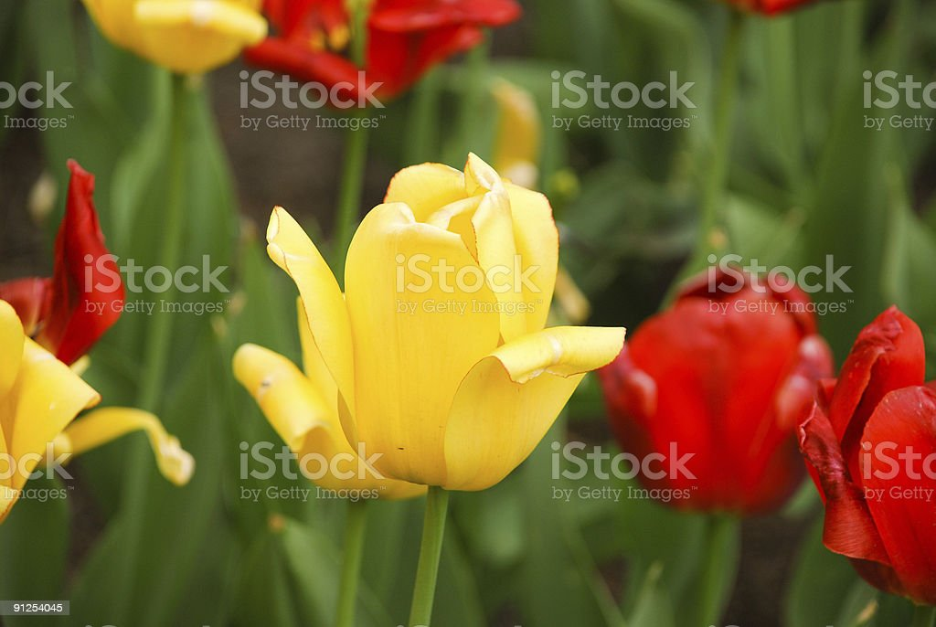 Beautiful yellow tulip in the park. royalty-free stock photo