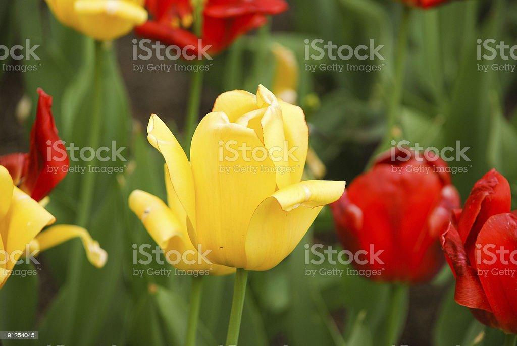 Beautiful yellow tulip in the park. stock photo