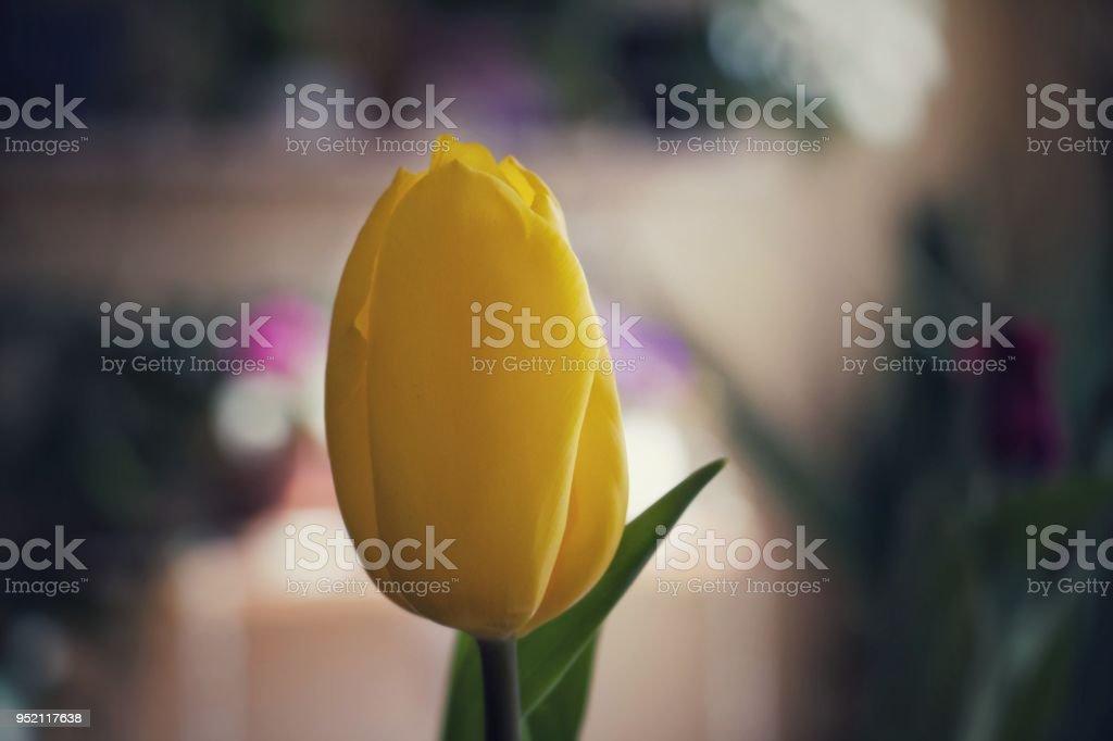 Beautiful yellow tulip stock photo