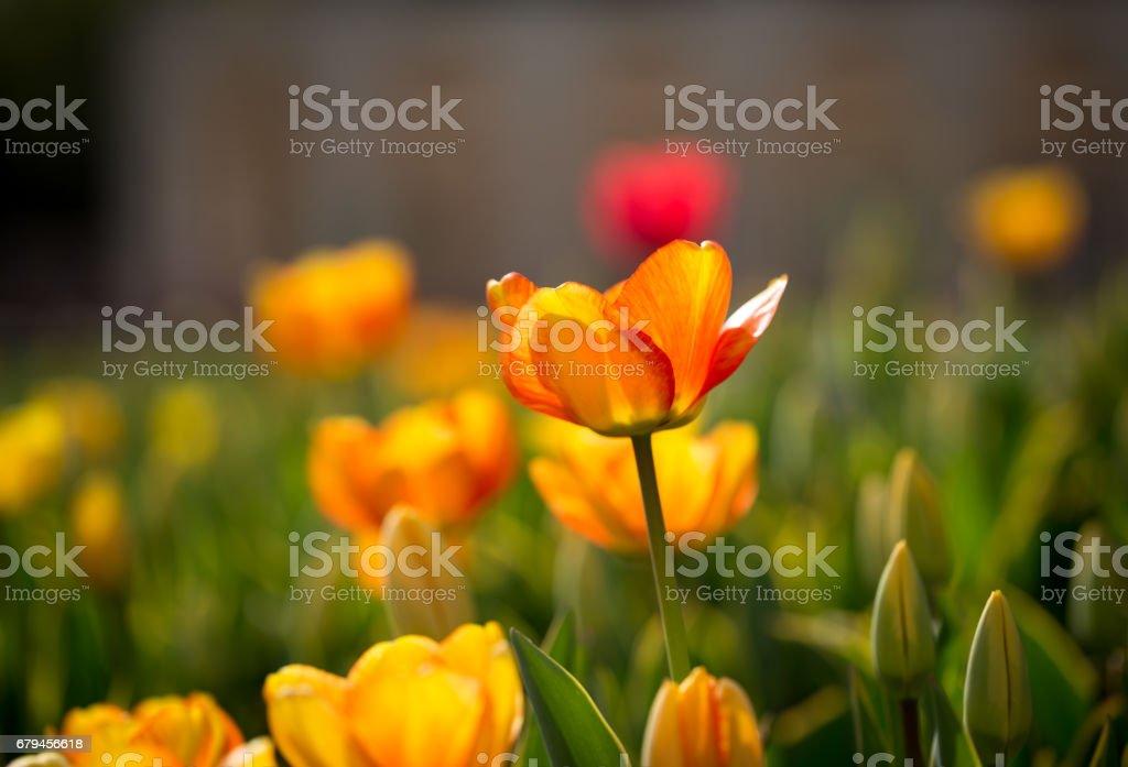 Beautiful yellow tulips in nature royalty-free stock photo