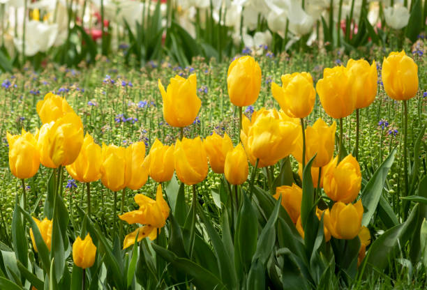 Beautiful yellow  tulips in the garden.  Artistic spring summer nature concept. stock photo