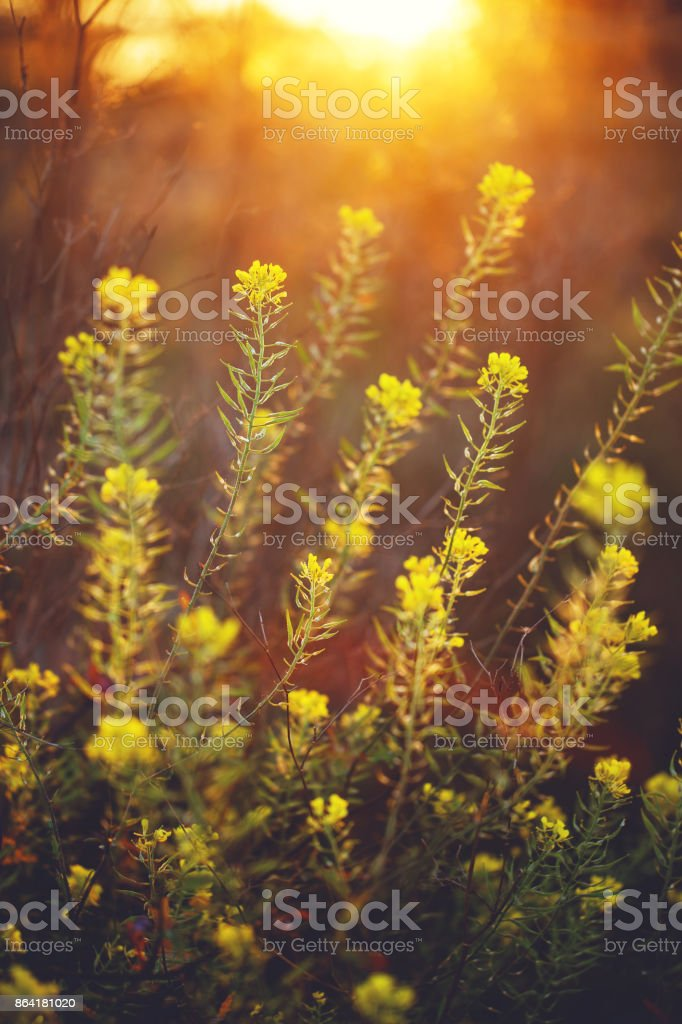 beautiful yellow wild meadow flowers on natural orange sunlight background in morning field. Outdoor spring photo royalty-free stock photo