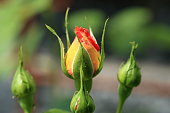 istock Beautiful yellow-red roses in garden, roses for Valentine Day. 1075060704