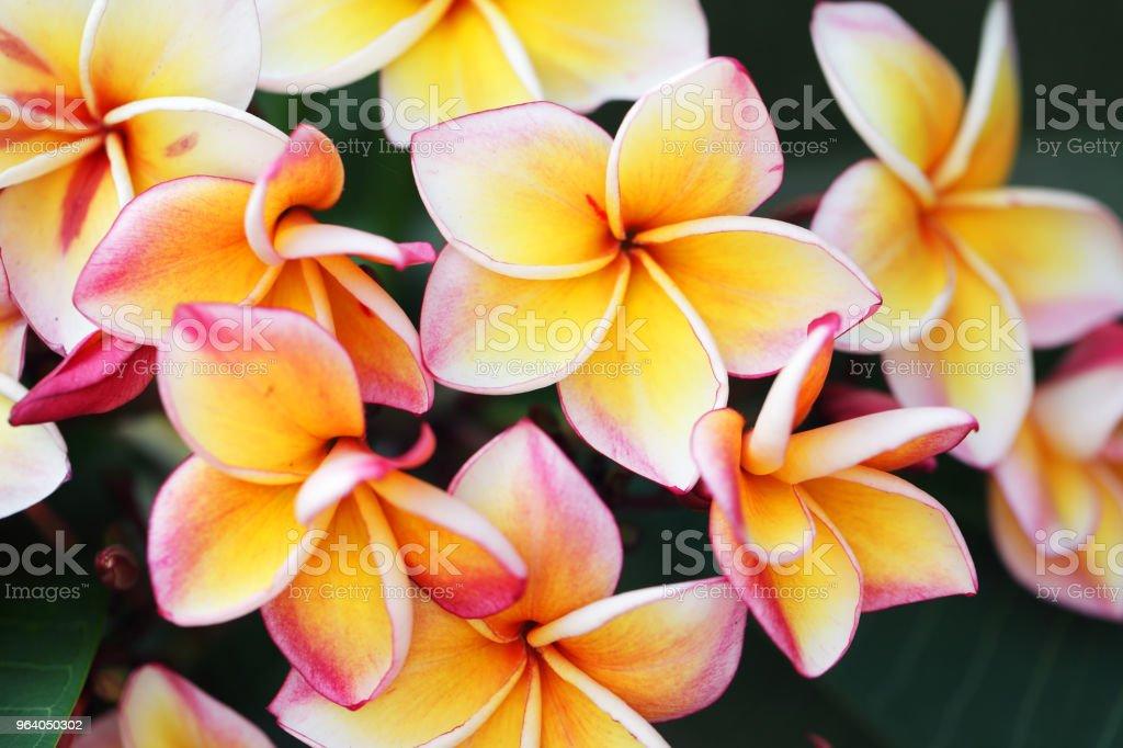 beautiful yellow-white frangiapani flower background. - Royalty-free Beauty Stock Photo