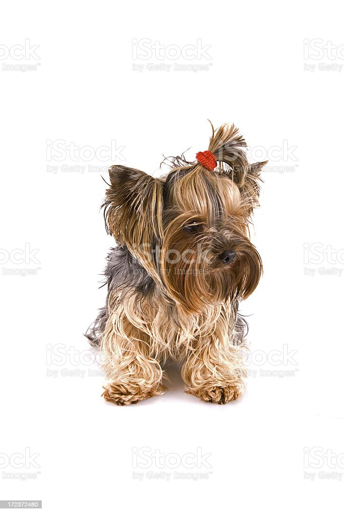 Beautiful Yorkishire terrier royalty-free stock photo