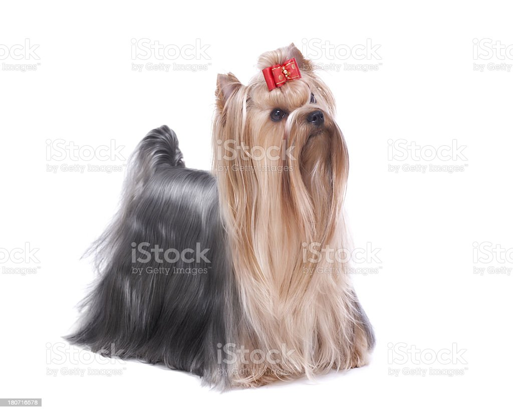 Beautiful Yorkshire Terrier dog in full coat royalty-free stock photo