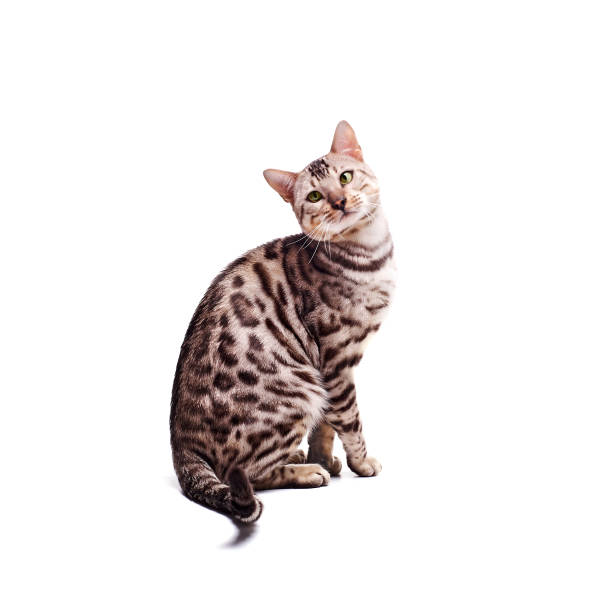 Beautiful young Bengali cat on a white background stock photo