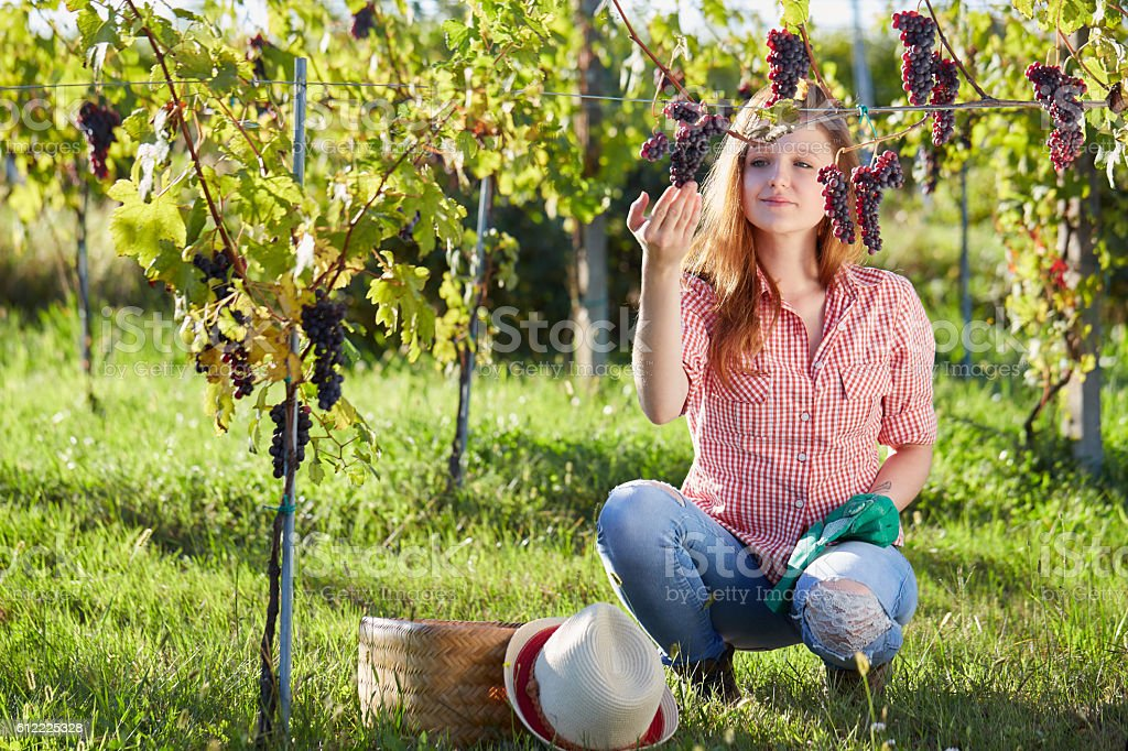 Beautiful young blonde woman harvesting grapes outdoors in vineyard stock photo
