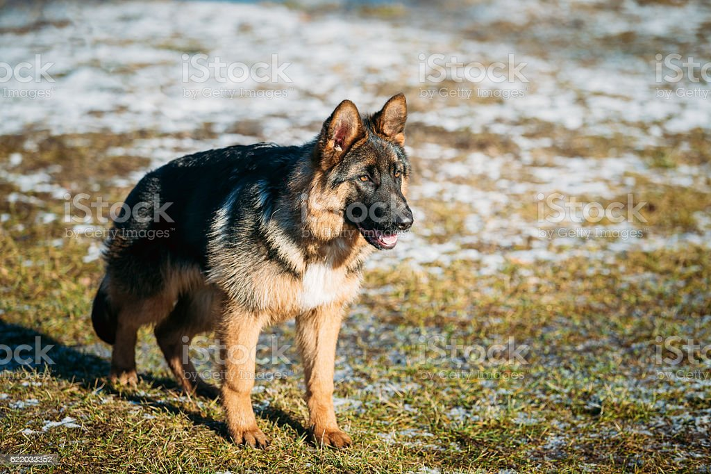 Beautiful Young Brown German Shepherd Puppy Dog Staying Stock Photo Download Image Now Istock