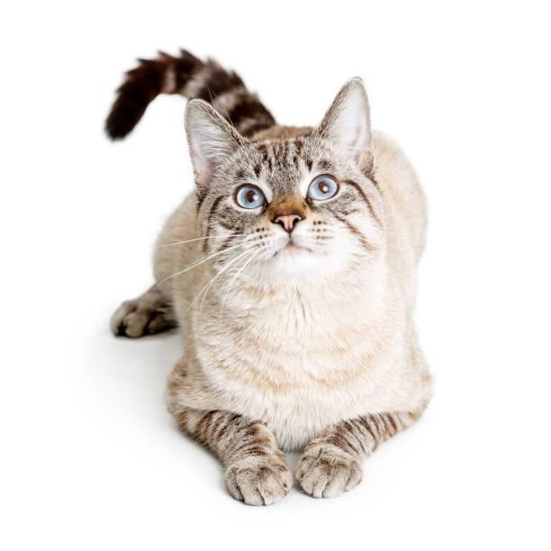 Beautiful young cat lying down looking up picture id1127453030?b=1&k=6&m=1127453030&s=612x612&w=0&h=1ashpqjonoigsq1qaq1p6sauh6zvqcigeciql5cjg08=