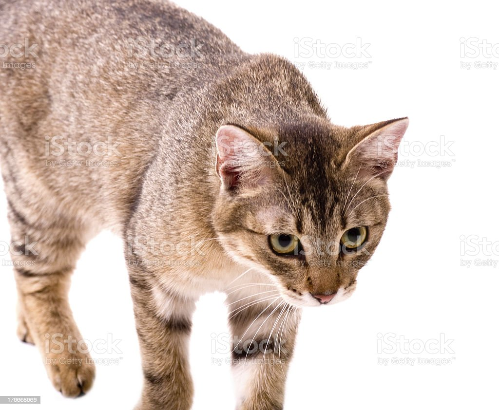 Beautiful young cat on white background royalty-free stock photo
