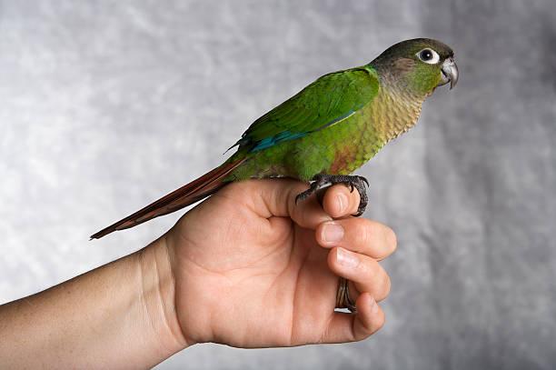 Conure Parrots price in Pakistan
