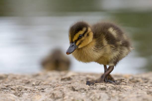 Beautiful Young Cute Mallard (anas platyrhynchos) Duckling Portrait stock photo