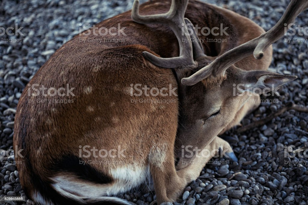 Beautiful young deer peacefully sleeping on a rocky surface stock photo