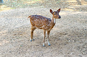 A Beautiful Young Female Spotted Deer