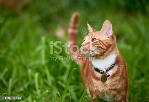 A red ginger cat frolicking though a field of green grass. Nice contrast between the red browns of the cat and the grass field.