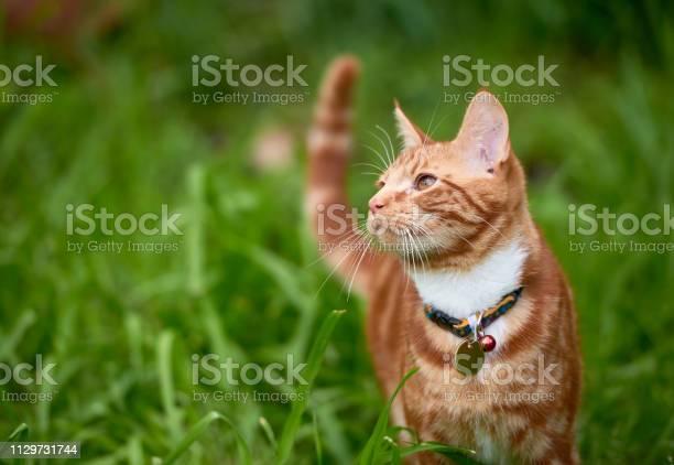 Beautiful young ginger red tabby cat looking at peace in a patch long picture id1129731744?b=1&k=6&m=1129731744&s=612x612&h=dtv06et3yxg dnuzj0vc19fwtklxiljluujdgozvw2m=