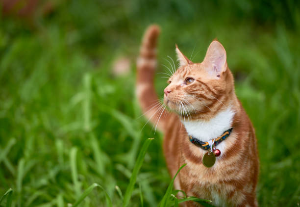 Beautiful young ginger red tabby cat looking at peace in a patch long green grass. A red ginger cat frolicking though a field of green grass. Nice contrast between the red browns of the cat and the grass field. collar stock pictures, royalty-free photos & images