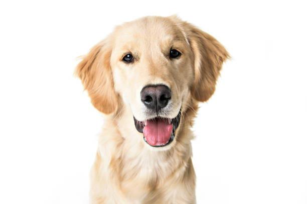 beautiful young Golden Retriever Portrait isolated on white stock photo