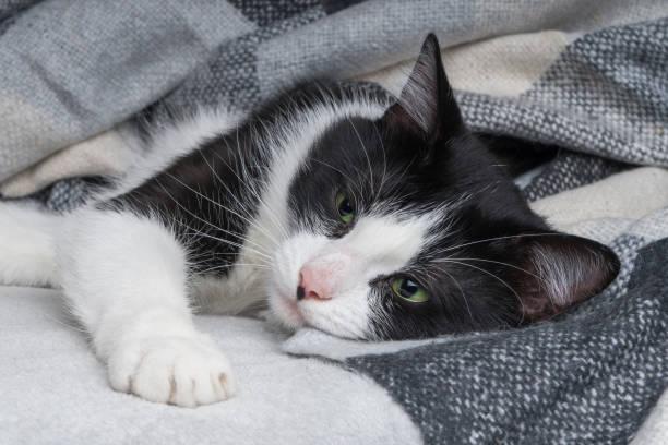 vackra unga gröna ögon blandad ras katt värmer under svart, grått och vitt tartan pläd i kallt vinter väder.  hus djurs skötsel koncept. djur inomhus i hemmet eller hotell sovrummet. kopiera utrymme tomt för text. - medicinskt tillstånd bildbanksfoton och bilder