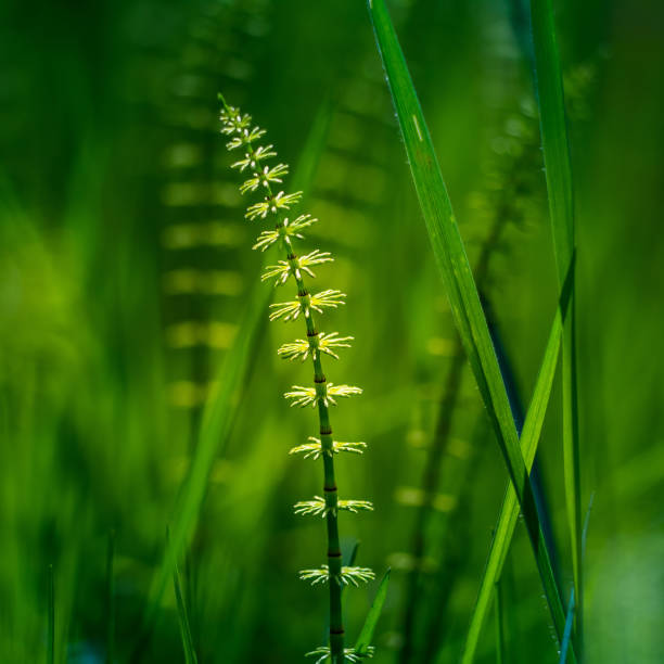 Beautiful young horesetails growing on the forest floor in spring. Equisetum plants in woodlands. stock photo