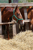 Anglo-arabian chestnut gidran horses eating hay at horse ranch summertime